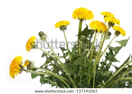 yellow dandelion flowers with buds isolated on white background