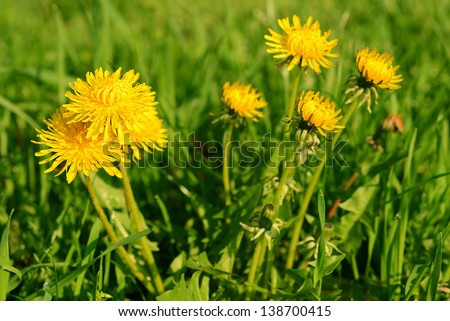 Yellow dandelion flowers with leaves in green grass - stock photo