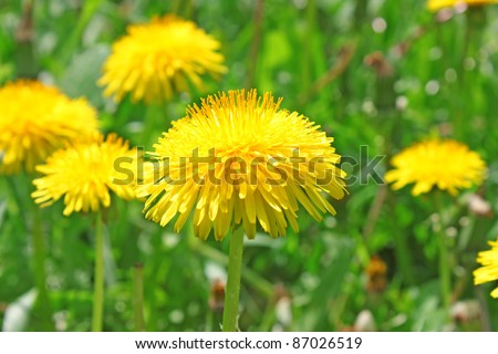 Yellow dandelion flowers with leaves in green grass, spring photo #87026519