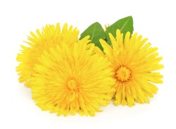 Yellow dandelion flowers with leaves on white