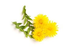 Yellow dandelion isolated on white background.