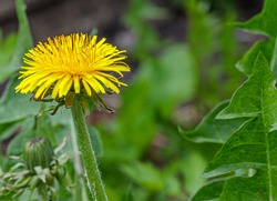 Yellow dandelion on a blurry background of green leaves. The spring garden is full of dandelions, covering the ground with a yellow carpet.