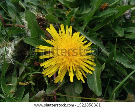 yellow dandelion on a spring meadow. dandelion in the grass. yellow flower.