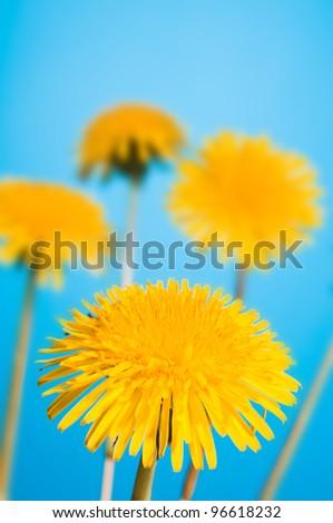 yellow dandelion on blue sky