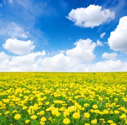 yellow dandelion on meadow in spring
