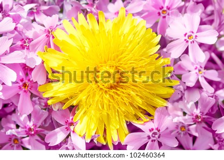 Yellow dandelion on pink flower background