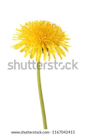 Yellow dandelion on white background