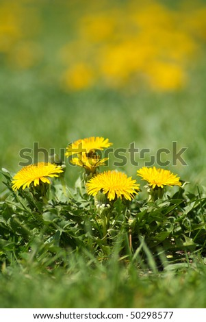 Yellow dandelion weeds in green lawn