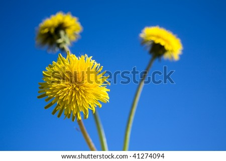 yellow dandelions and  blue sky