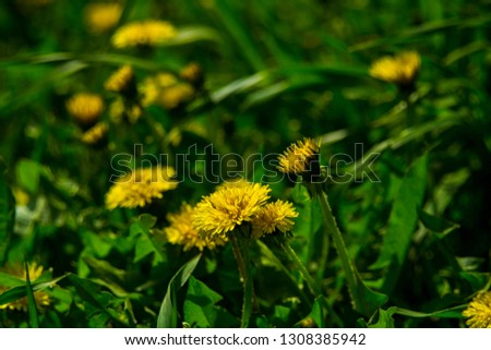 Yellow dandelions. Bright flowers dandelions on background of green spring meadows. spring background picture