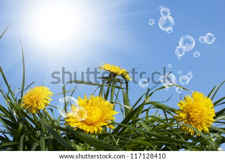 Yellow dandelions field in the green grass.Spring