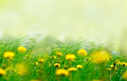 Yellow dandelions flowers in grass in spring wind close-up macro with soft focus on a meadow in nature. A beautiful soft light gentle dreamy green background, free space for text