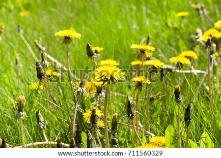 yellow dandelions on a sunny afternoon. part of the flower is closed and began to turn white. photo close-up in spring #711560329