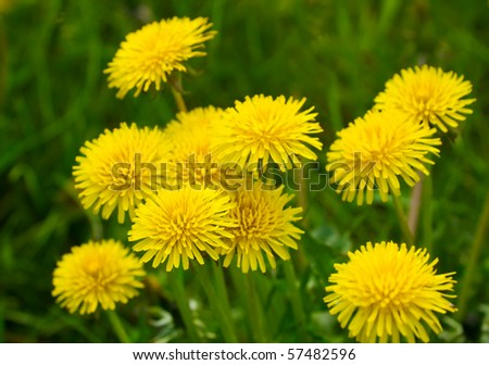 Yellow dandelions (taraxacum officinale) in green grass. Close up - stock photo