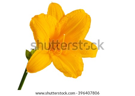 Yellow day lily isolated on a white background.
