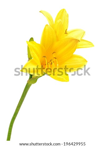 yellow daylily on a white...