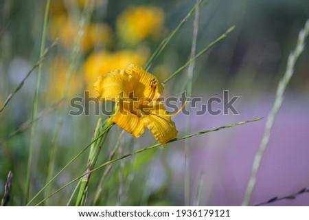 Yellow Daylily Stella de Oro Foto stock ©