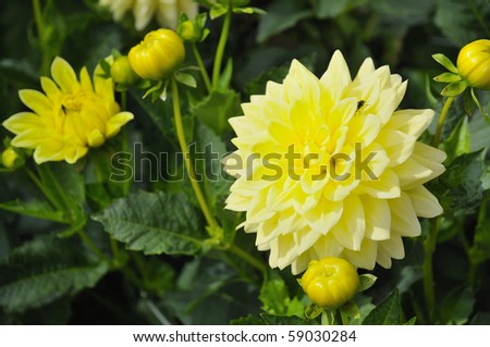 Yellow decorative dahlia against green leafy background. For flowers, botanical and decor concepts.