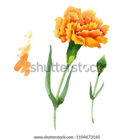 Yellow dianthus. Floral botanical flower. Wild spring leaf wildflower isolated. Aquarelle wildflower for background, texture, wrapper pattern, frame or border.