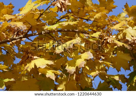 yellow discolored maple leaves on a tree