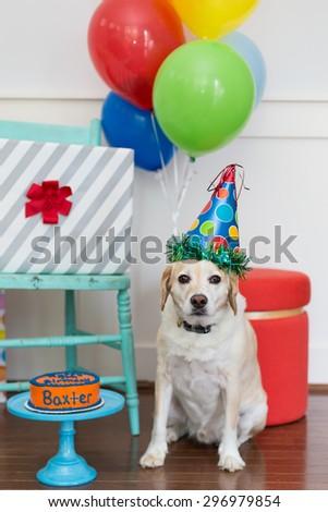 Yellow dog celebrates birthday party