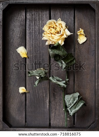 Yellow dried rose petals on wooden boards brown color #718816075