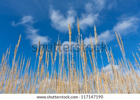 Yellow dry grass on blue sky background - stock photo