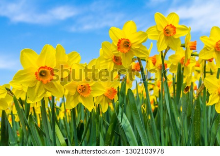 yellow dutch daffodil flowers close up low angle of view with blue sky background