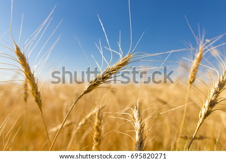 Yellow ears of wheat against the blue sky - Shutterstock ID 695820271