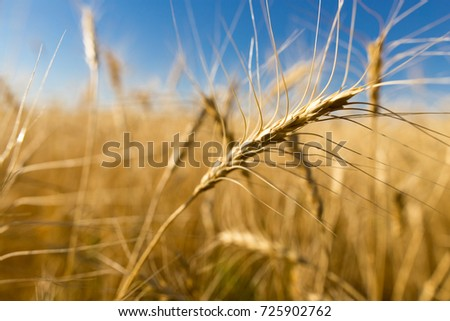 Yellow ears of wheat against the blue sky - Shutterstock ID 725902762