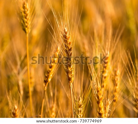 yellow ears of wheat at sunset in nature #739774969