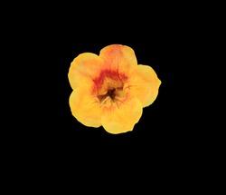 Yellow elder, Trumpetbush, Trumpetflower, Yellow trumpet-flower, Yellow trumpetbush, Close up single yellow-orange flower isolated on black background. with clipping path