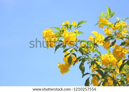 Yellow elder, Trumpetbush, Trumpetflower, Yellow trumpet-flower, Yellow trumpetbush yellow color flower on clear blue sky background #1210257556