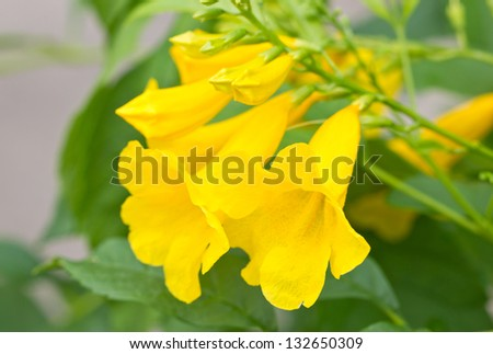 Yellow elder yellow bells or trumpet vine flowers scientific yellow elder yellow bells or trumpet vine flowers scientific name tecoma mightylinksfo