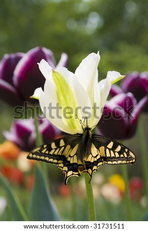 yellow end black butterfly on white tulip - stock photo