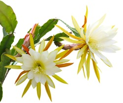 Yellow epiphyllum Flower plant isolated on white background