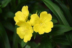 Yellow Evening Primrose with three flowers and green leaves