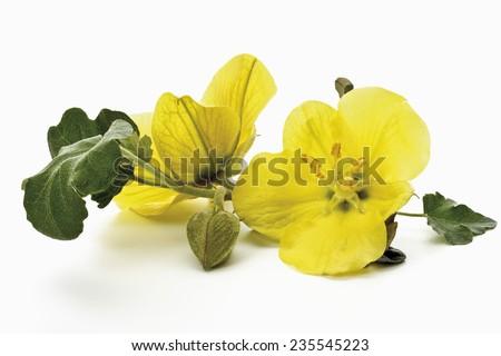 Yellow evening primroses