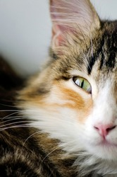 Yellow eye of a domestic cat, close-up.