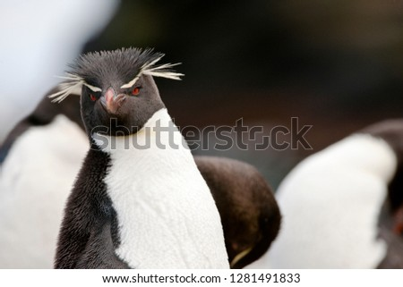 Yellow-eyed Penguin looking at the camera in curiosity while surrounded by his flock.