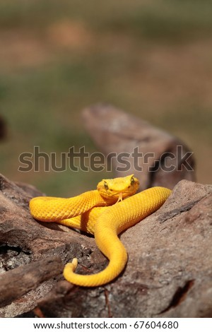 Yellow eyelash viper (B. schlegelii)