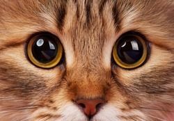 Yellow eyes of adult siberian cat close-up