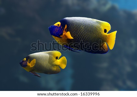 Yellow-faced Angelfish (Pomacanthus xanthometapon) swimming over a tropical coral reef.