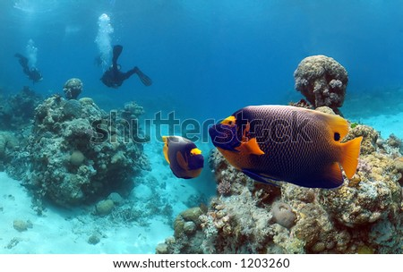 Yellow-faced Angelfish (Pomacanthus xanthometapon) with divers