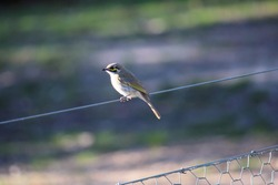 Yellow-faced Honeyeater (Lichenostomus chrysops) perched on fence wire, South Australia