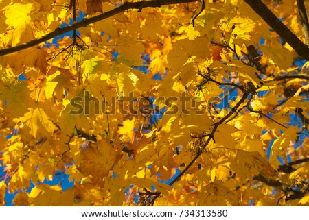 yellow fall foliage #734313580