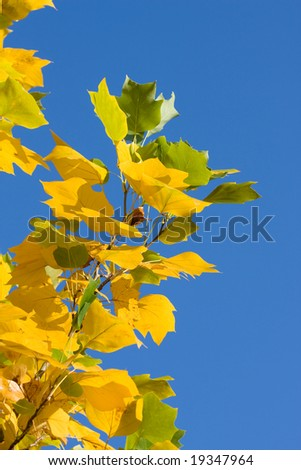 Yellow fall foliage on background of blue sky