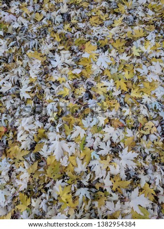 Yellow fall leaves on the ground. #1382954384