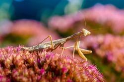 Yellow female praying mantis hunts a colorful flower