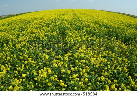yellow field and blue sky. fish-eye lens